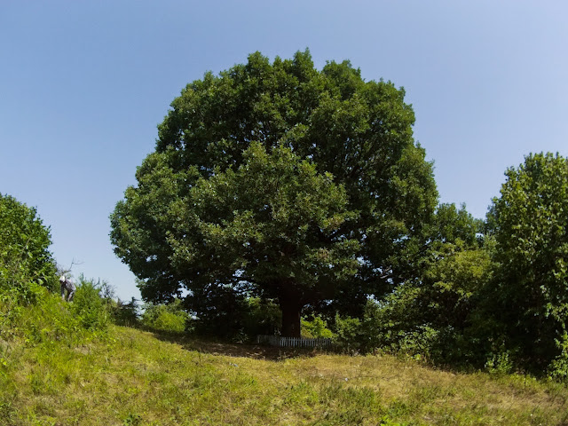 Башинський дуб