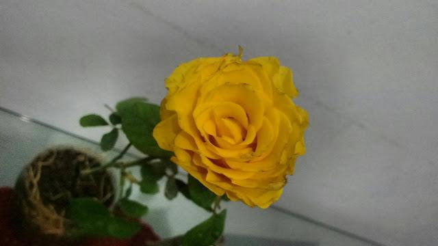 muda de rosa amarela