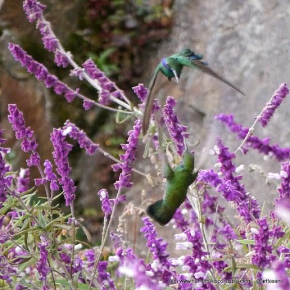 Pelea de colibrís
