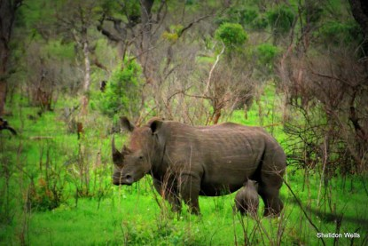 Young White Rhino with Mother
