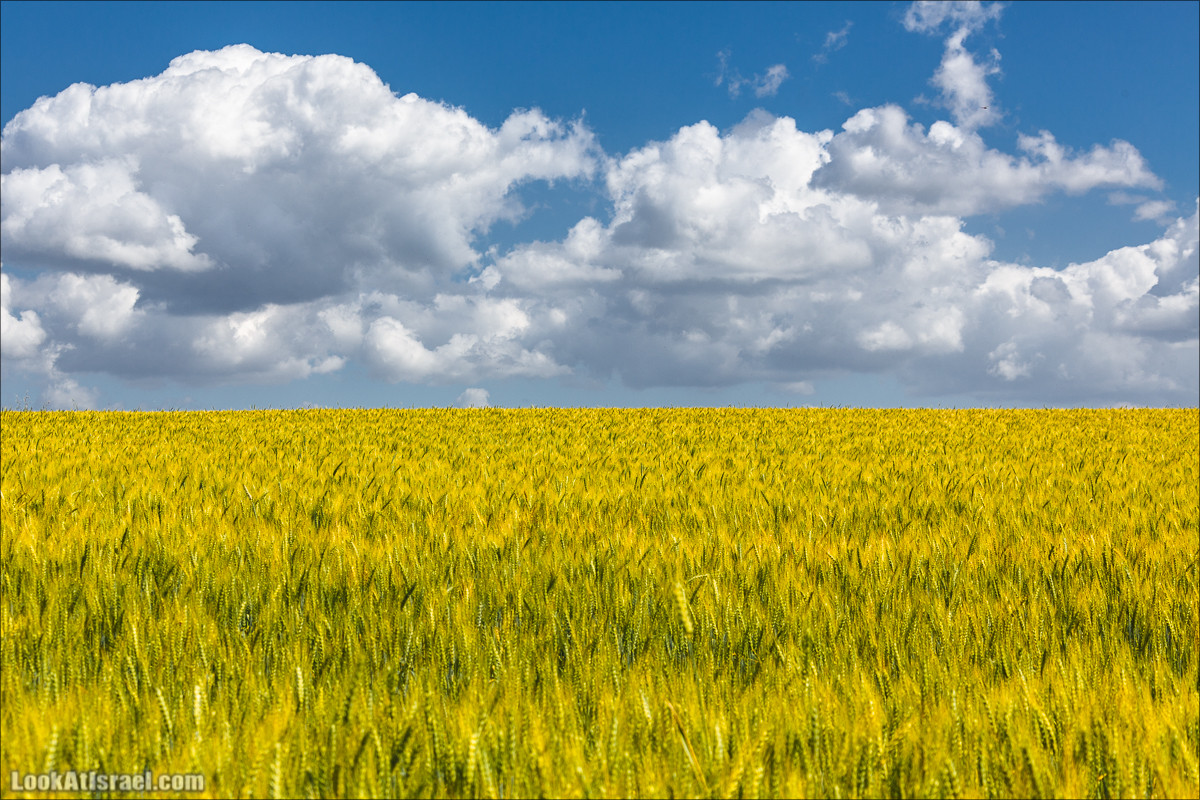 Израильские поля цвета украинского флага | LookAtIsrael.com - Фото путешествия по Израилю и не только...