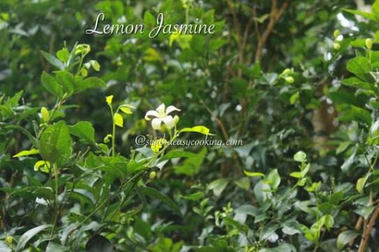 Lemon JAsmine