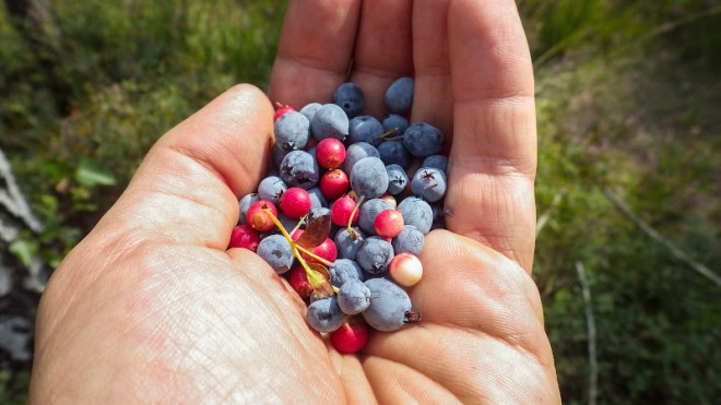 ягоди брусниця і голубіка