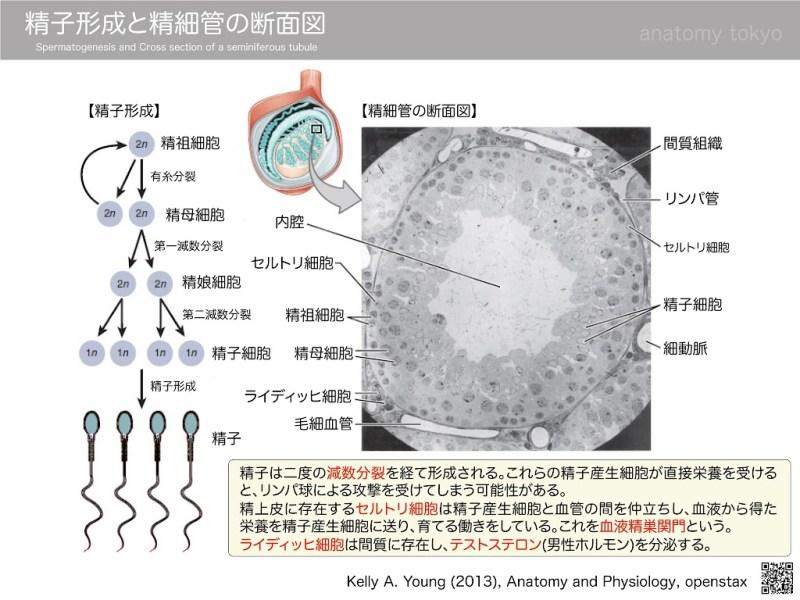 Spermatogenesis-and-a-seminiferous-tubule2.jpg