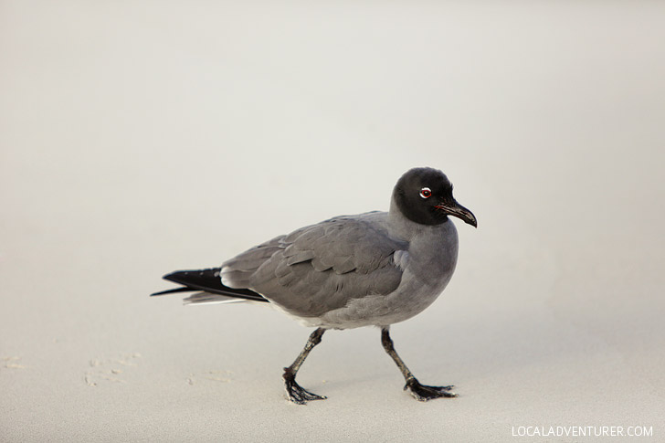 Lava Gull - Galapagos Birds.