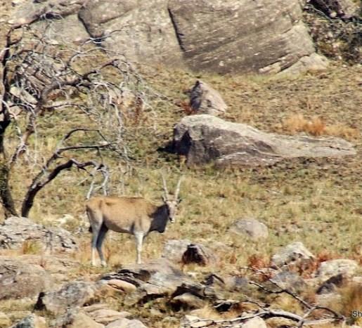 common eland on the sani pass