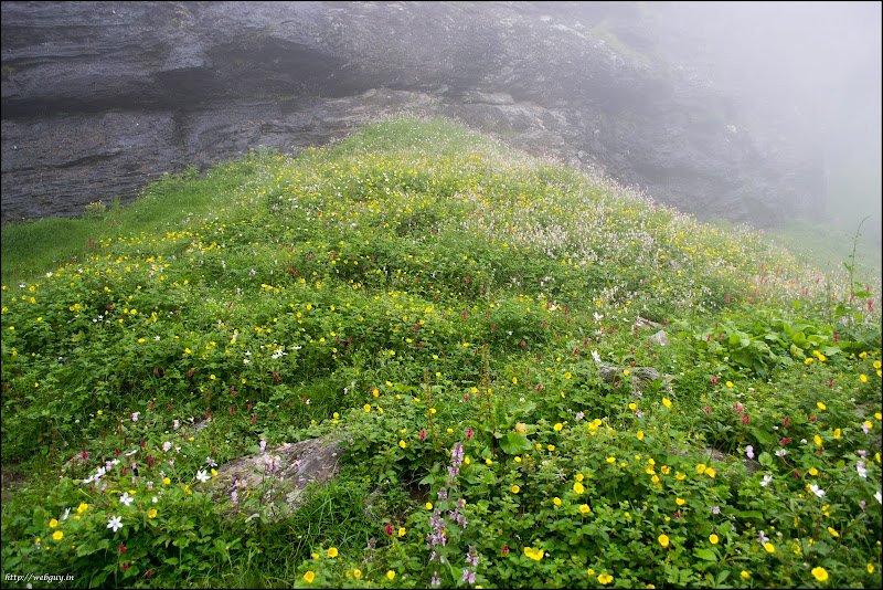 Wild colorful flowers - Chikka, Hampta Pass Trekking