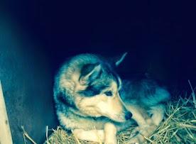dakota lead dog.jpg