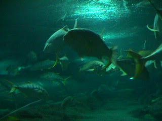 1030Aquarium Fish Schooling