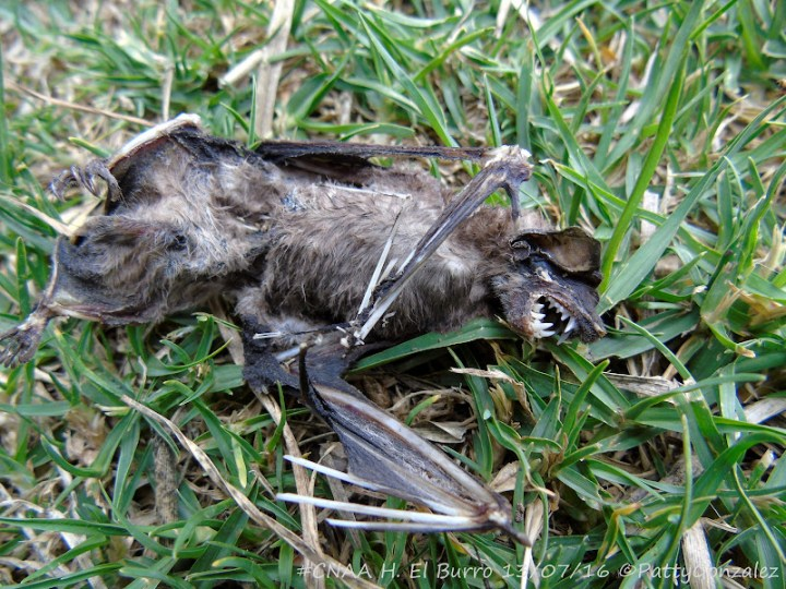 Murciélago en el humedal El Burro