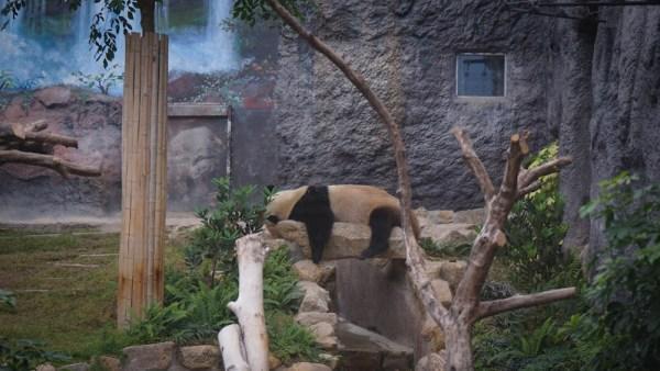 Macao Panda