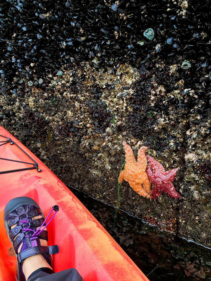Purple Sea Star / Pisaster ochraceus while kayaking Monterey Bay.