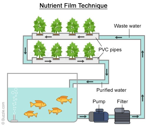 Aquaponics nutritient film technique