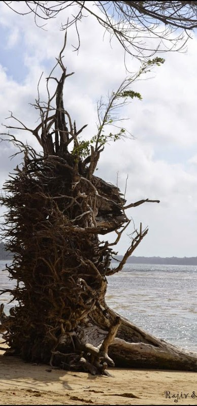 tsunami tree port blair