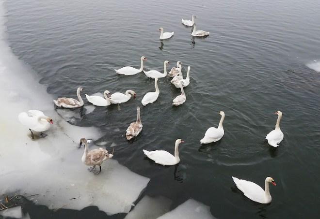 вишнева гора, р. устя, дикі лебеді