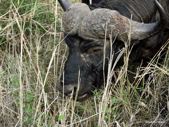 African Buffalo at Hluhluwe Imfolozi Game Reserve
