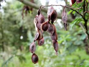 Acacia gris semillas