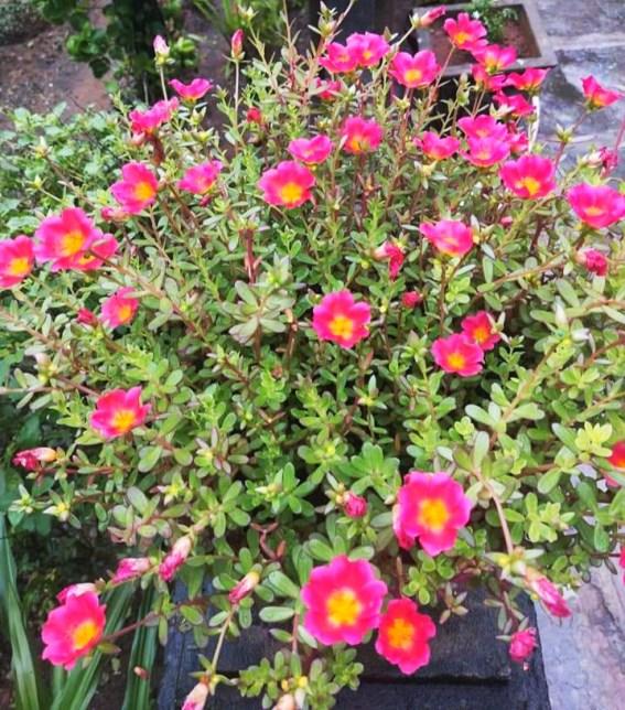 Purslane tree A benefit to treat Cancer by plantsbhh