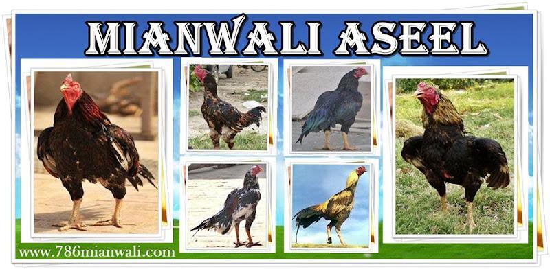 MIANWALI ASEEL – 786mianwali