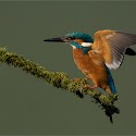 Intermediate 3rd -Kingfisher Alighting_Elaine Rushton.jpg