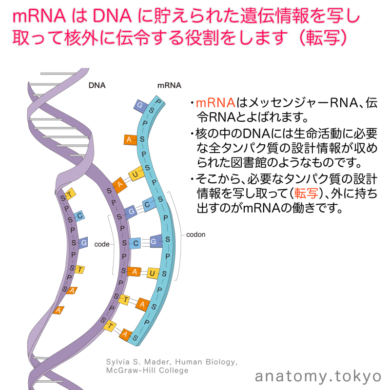 t112-30-mRNA-transcription.png