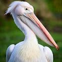 Advanced 3rd - Pelican Portrait_Martin Patten.jpg