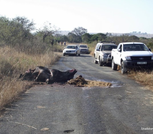 lion kill at hluhluwe imfolozi game reserve