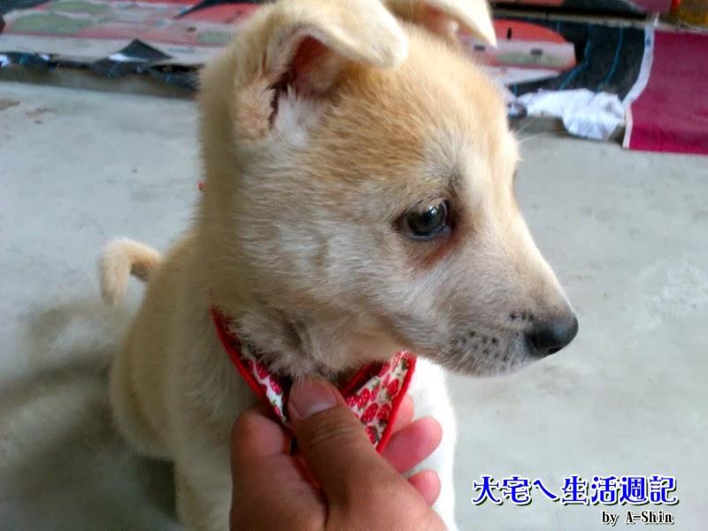 大宅週記|阿新爸領養的一隻兩個月大小狗,他叫大宅。