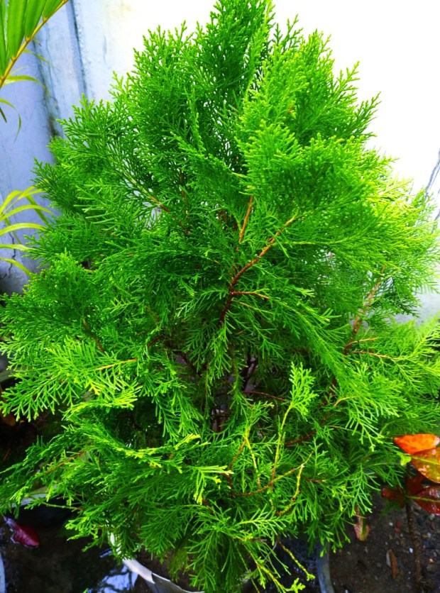 Arborvitae tree are giving fresh air by plantsbhh.in