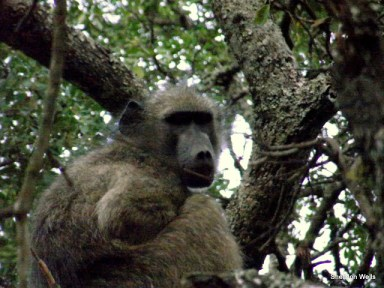 Chacma Boboon perched in a tree