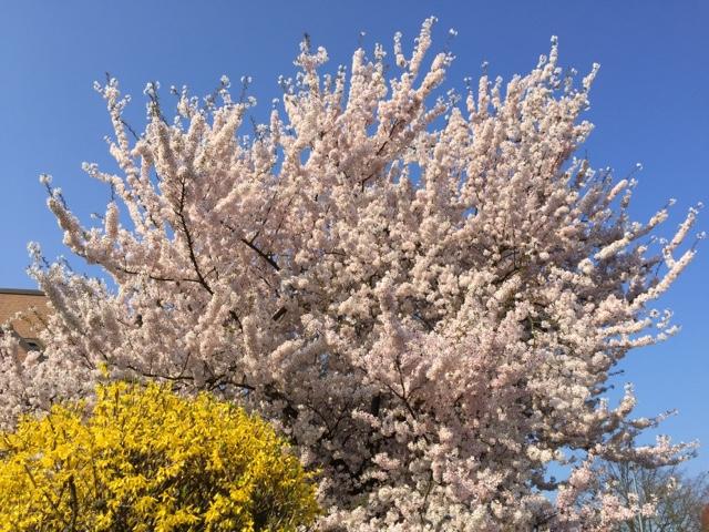 ブーアーの桜満開