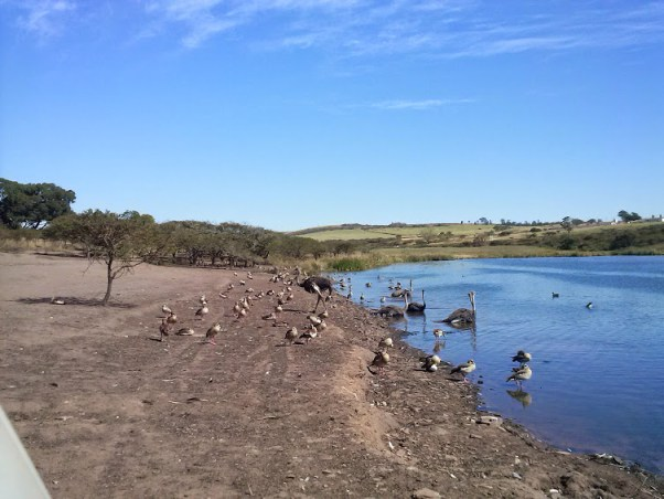 ostrich and other birds keeping cool in the water on a warm day