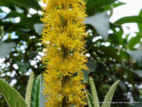 Velitas (Abatia parviflora)