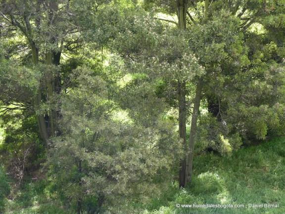 Bosque de las acacias