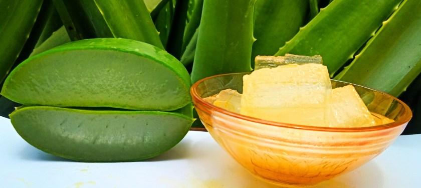 Aloe vera by plantsbhh.in
