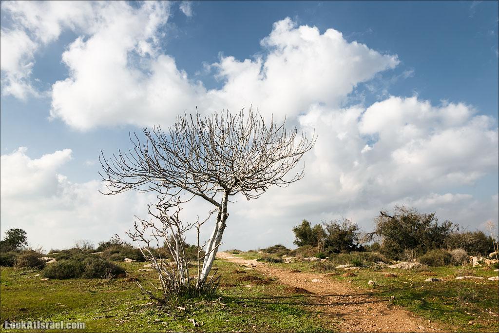 Деревья Израиля | LookAtIsrael.com - Фото путешествия по Израилю
