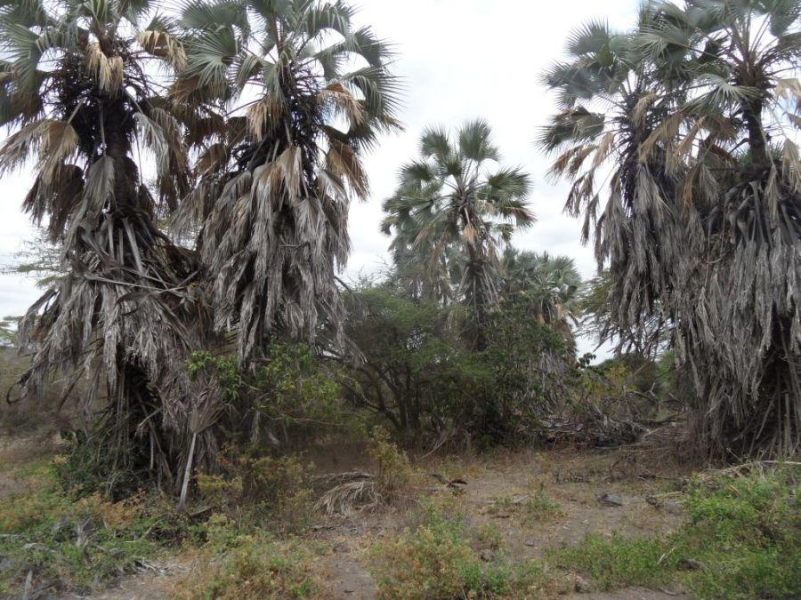 Doğal ortamda budanmamış palmiyeler