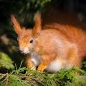 Advanced 2nd - Red Squirrel_Martin Patten.jpg