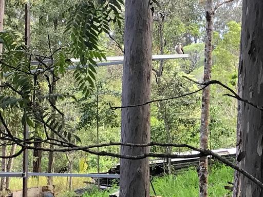 kookaburra-2017-11-11-06-49.jpg