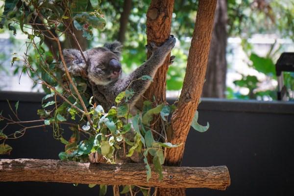 Lone Pine Koala Bear