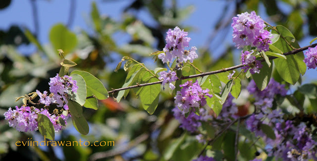 Bunga Bungur Ungu berlatar belakang langit biru