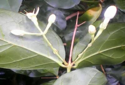 Bunga Melati Sihir Usia 10 Sampai 20 Tahun Lebih Muda