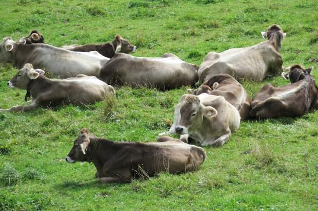 Auf der Alm tummeln sich reichlich Kühe