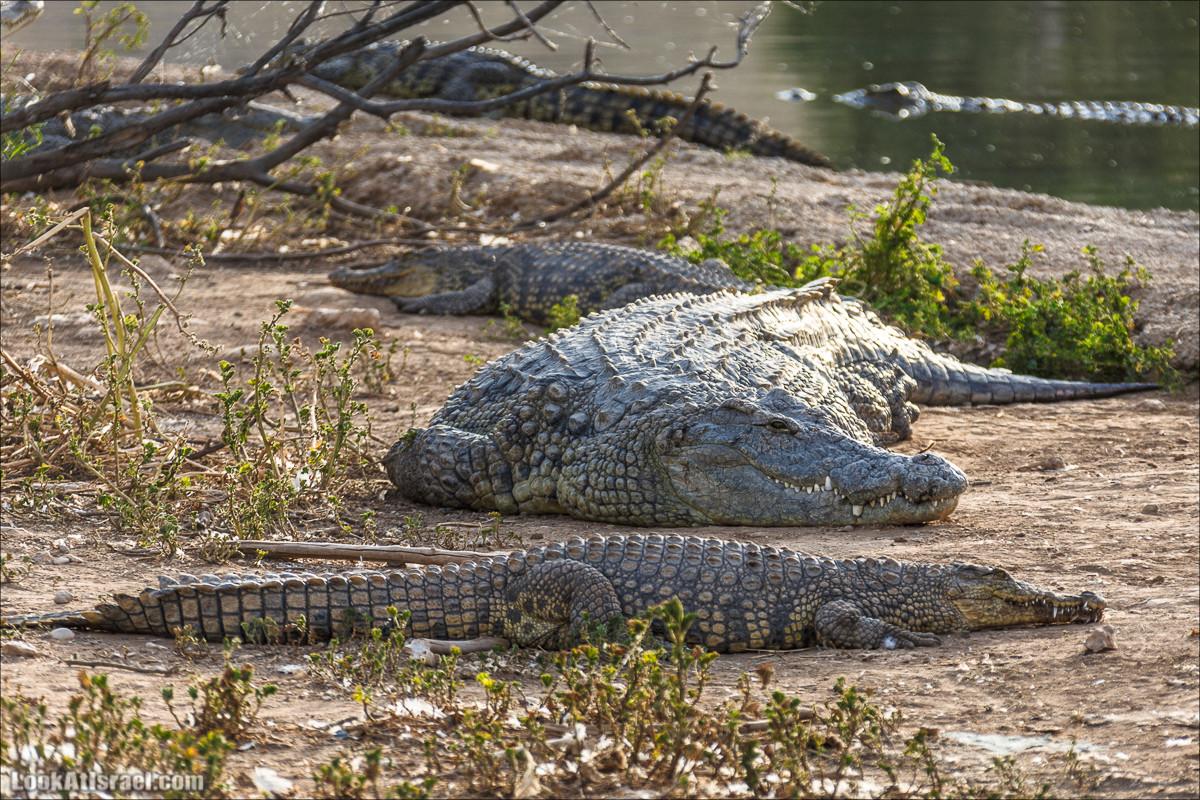 Одинокие крокодилы Иорданской долины