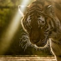 Primary 2nd - Tiger in the light_Bob Long.jpg