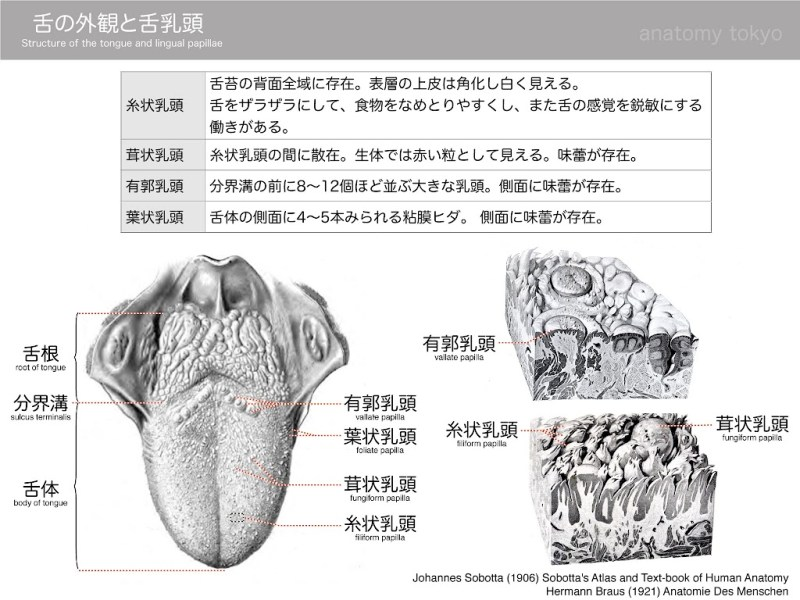 structure-of-the-tongue-and-lingual-papillae.jpg