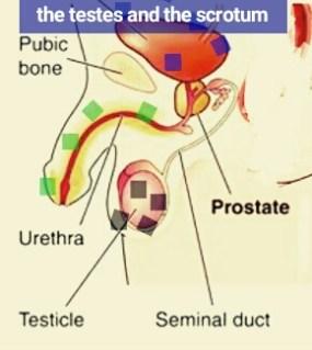 testes hormones