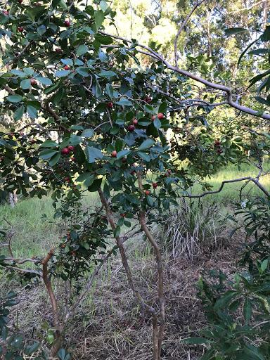 20180328-cherry-guava-2018-03-31-16-32.jpg