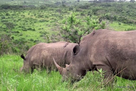 White Rhino Grazing at Hluhluwe Imfolozi Game Reserve