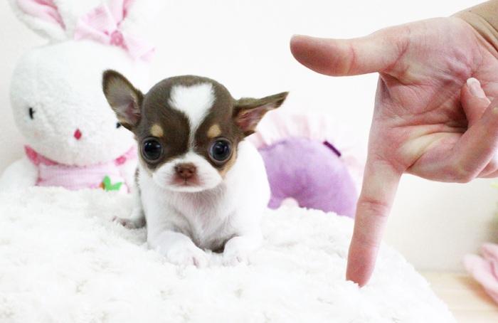 Cách nuôi chó chihuahua mini